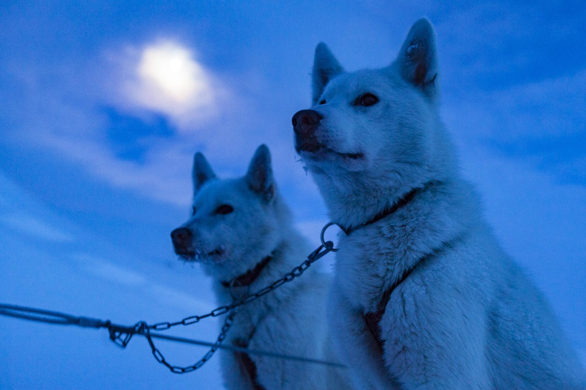 Schlittenhunde mit Vollmond