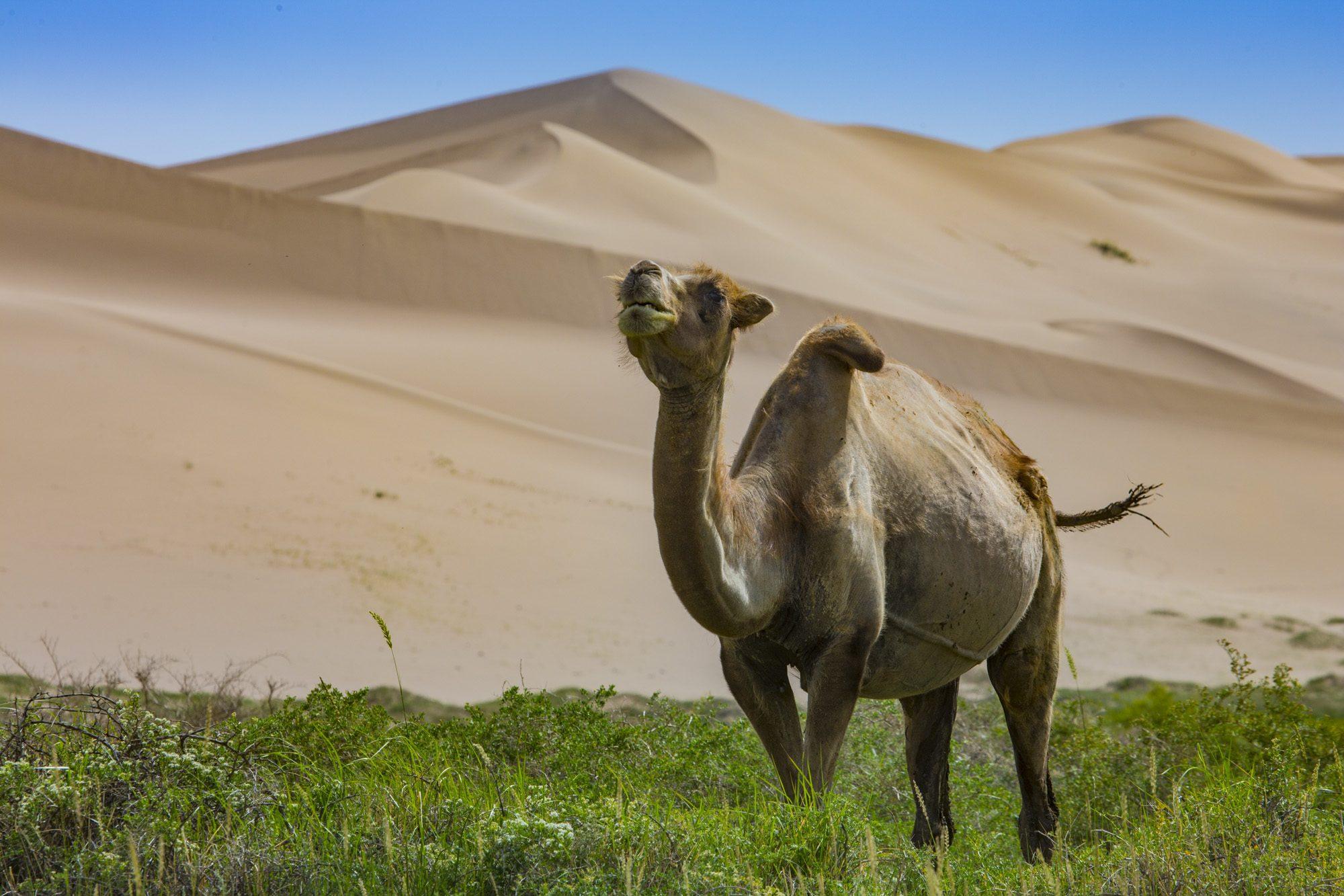 Kamel an den Dünen von Khongoryn Els