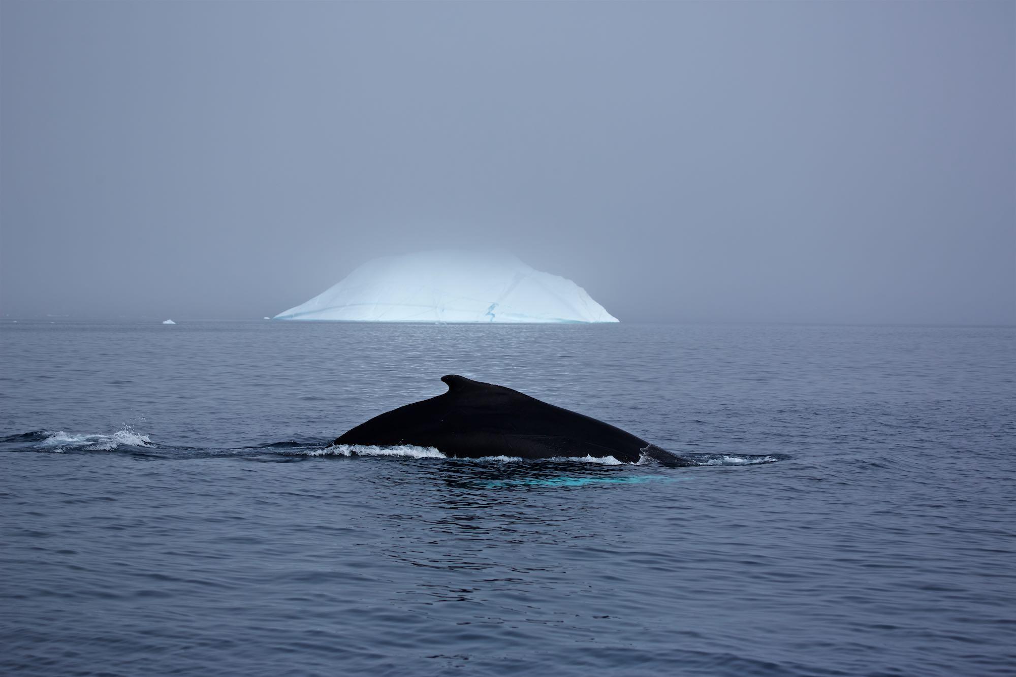 Wal vor Eisberg, Ostgrönland