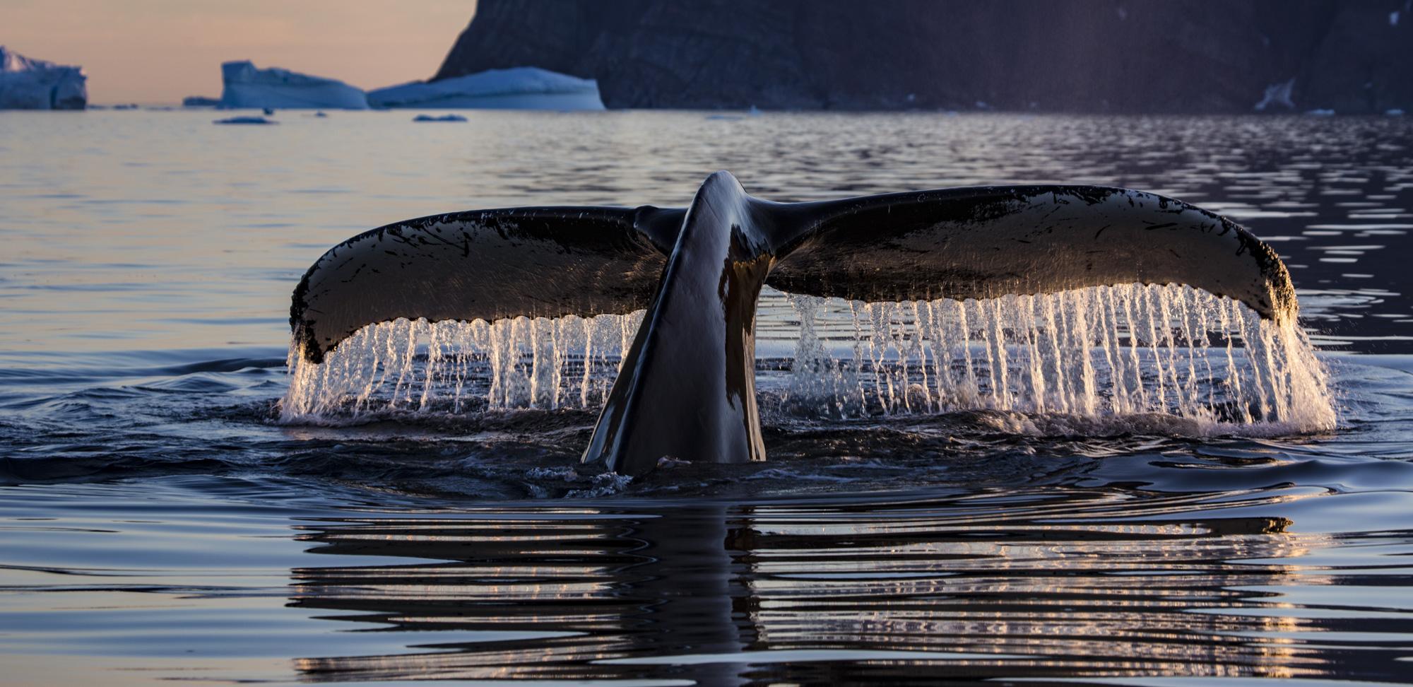 Fluke eines abtauchenden Buckelwales (Megaptera novaeangliae), Ostgrönland