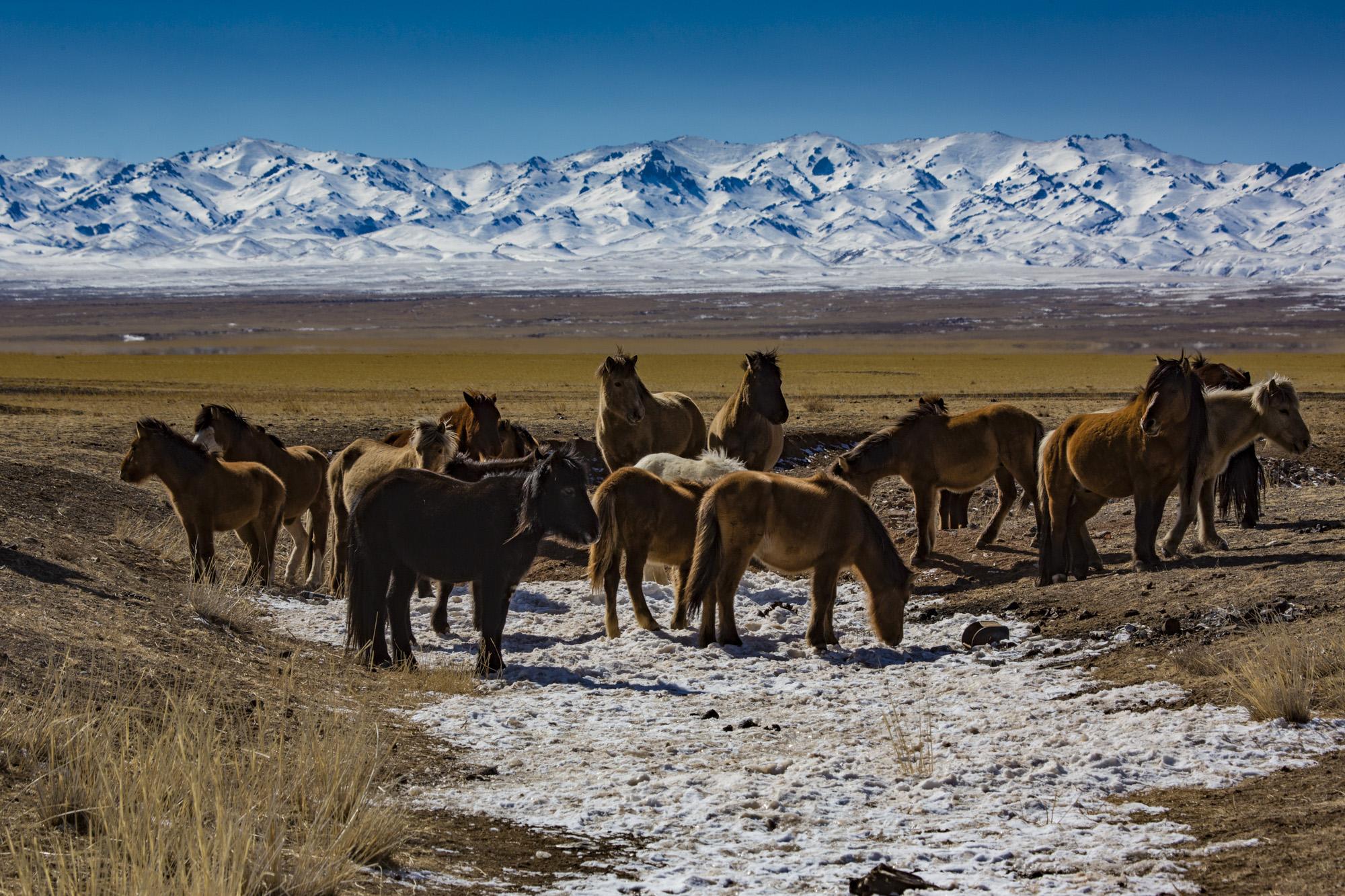 Pferde, Südgobi, Mongolei