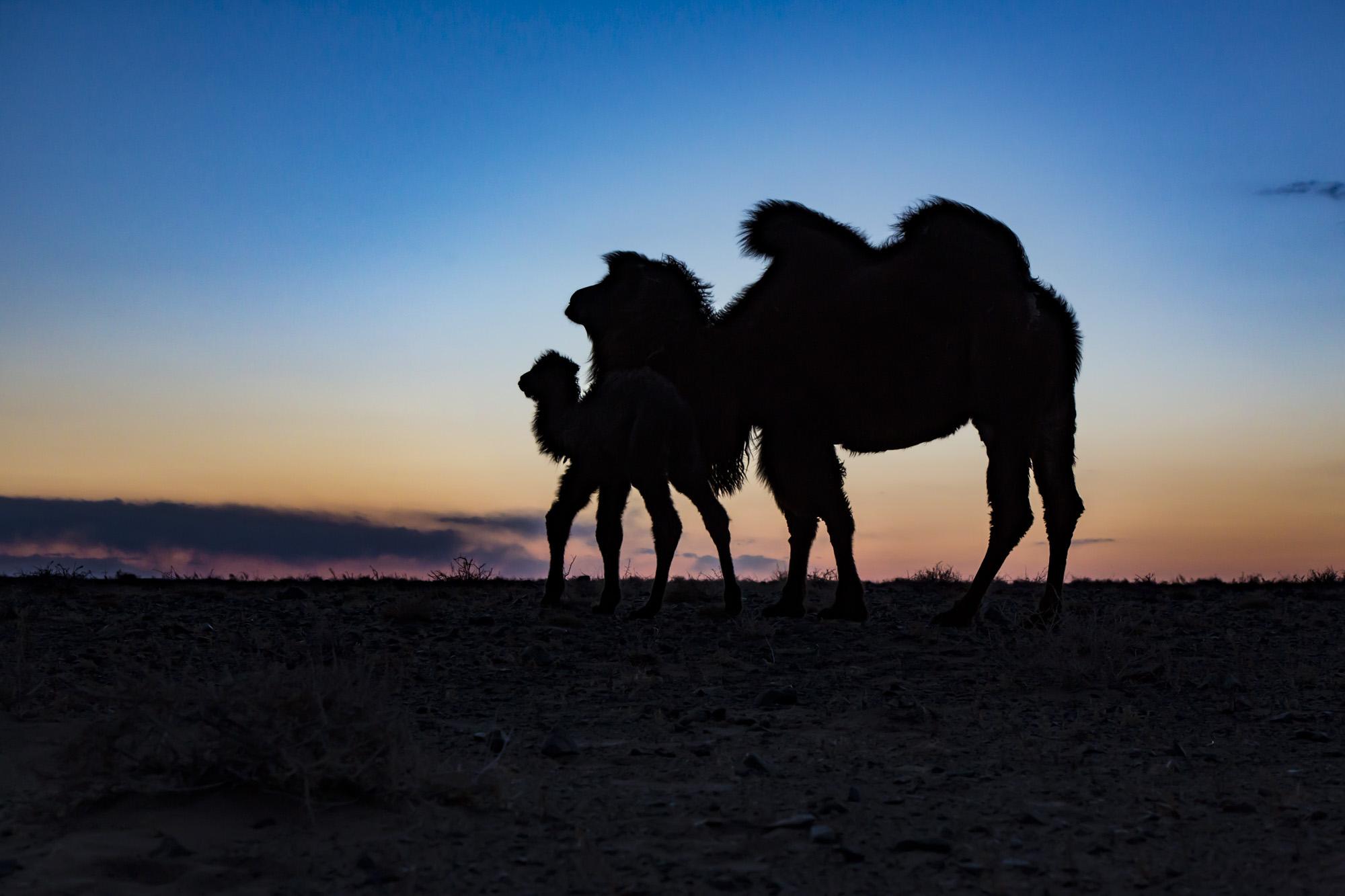 Kamel mit Fohlen